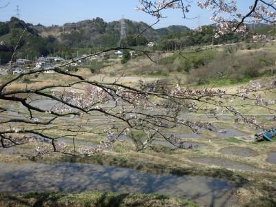 棚田の桜1