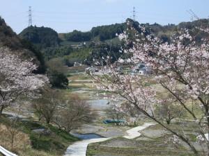 棚田の桜2