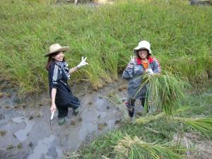 古代米の稲刈り!②